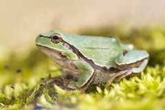Oriental tree frog Royalty Free Stock Images