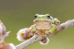 Oriental tree frog Stock Photography