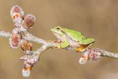 Oriental tree frog Stock Images