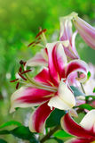 Oriental Trumpet Lily Mr. Job. Pink lily flowers on a green background. Holiday card.Oriental Trumpet Lily Mr. Job stock image