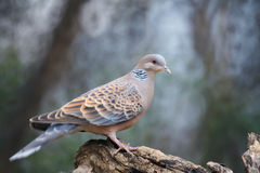 Oriental Turtle Dove Royalty Free Stock Photos