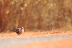 Oriental turtle dove on the ground stock images