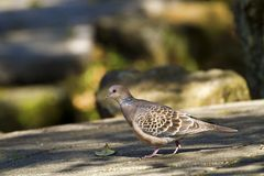 Oriental Turtle Dove,Streptopelia orientails Stock Photography