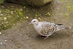 Oriental Turtle Dove,Streptopelia orientails Royalty Free Stock Photography