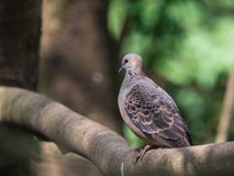 Oriental Turtle-Dove (Streptopelia orientalis) perching on a branch with green nature blurred background and copy space. Closeup Oriental Turtle-Dove royalty free stock photography