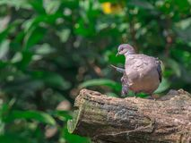 Oriental Turtle-Dove (Streptopelia orientalis) perching on a branch with green nature blurred background and copy space. Closeup Oriental Turtle-Dove stock photography