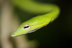 Oriental Whip snake Stock Images