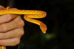 Oriental whip snake Ahaetulla prasina Yellow Gold Colour Stock Photos