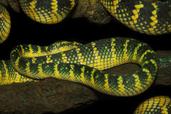Oriental whip snake, green viper from Borneo Stock Image