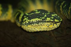 Oriental whip snake, green viper Stock Photography