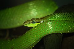 Oriental whip snake, green viper Royalty Free Stock Photography