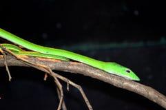 Oriental Whip or Vine Snake Stock Photo