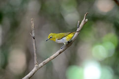 Oriental white-eye Stock Image