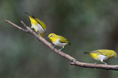 Oriental white-eye Stock Photo