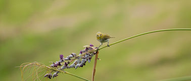 Oriental White-eye bird Royalty Free Stock Photo
