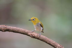 Oriental white-eye Royalty Free Stock Images