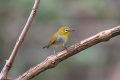 Oriental white-eye Royalty Free Stock Photo