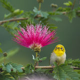 Oriental white-eye bird in red powderpuff tree Royalty Free Stock Photography