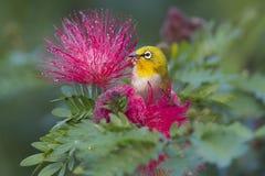 Oriental white-eye bird in red powderpuff tree Stock Photo