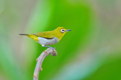 Oriental White-eye Bird Royalty Free Stock Photography