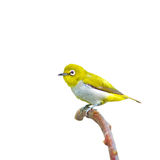 Oriental White-eye Bird Stock Image