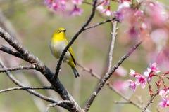 Oriental White-eye bird Royalty Free Stock Photography