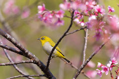 Oriental White-eye bird Stock Photos