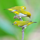 Oriental White-eye Bird Stock Photography