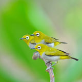 Oriental White-eye Bird Royalty Free Stock Images