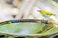 Oriental White-eye bird (Zosterops palpebrosus) Royalty Free Stock Image