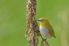 Oriental White-eye Royalty Free Stock Image