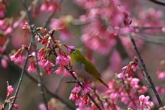 Oriental White Eyes in Prunus campanulata Stock Photo