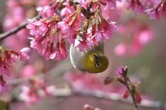 Oriental White Eyes in Prunus campanulata Stock Photos