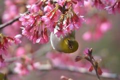 Oriental White Eyes in Prunus campanulata. Oriental White Eyes eating in Prunus campanulata Stock Photos