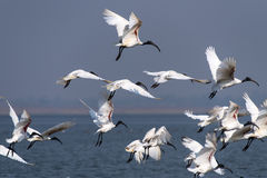 Oriental white ibis. Flock of black-headed ibis flying royalty free stock photography