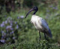 Oriental White Ibis (Threskiornis Melanocephalus) Stock Photos