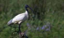 Oriental White Ibis (Threskiornis Melanocephalus) Stock Photo