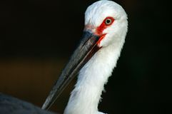 Oriental White Stork Royalty Free Stock Photos