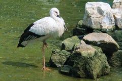 Oriental White Stork Stock Image