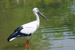 Oriental White Stork Royalty Free Stock Photography