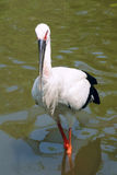 Oriental White Stork Royalty Free Stock Photo
