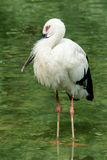 Oriental white stork Stock Photography