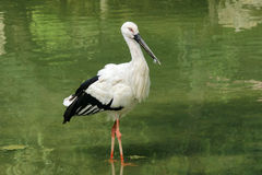 Oriental white stork Royalty Free Stock Image