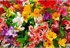 Orientale Almeria del Lilium Fotografia Stock