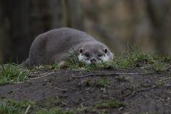 Orientale Breve ha graffiato la lontra, cinereus di Aonyx, abbattente all'altezza d'occhio che guarda verso la macchina fotografi fotografia stock libera da diritti