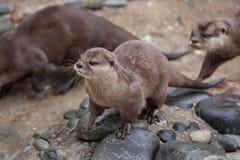 Orientale Klein--kratzte Otter Amblonyx-cinereus lizenzfreies stockbild