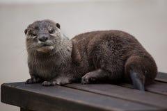 Orientale Klein--kratzte Otter Amblonyx-cinereus stockfotografie