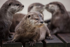 Orientale Klein--kratzte Otter Amblonyx-cinereus stockfotos