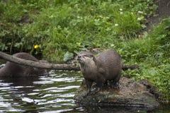 Orientale Klein--kratzte Otter Amblonyx-cinereus, alias t lizenzfreie stockbilder