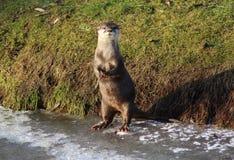Orientale Klein--kratzte Otter auf Eis Lizenzfreies Stockfoto